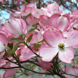 Dogwood by Clara Scarano Scubla - Novices Only Flowers & Plants ( dogwood, flowering tree, pink, flowers,  )