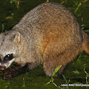 Crab-eating Racoon