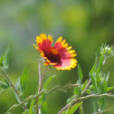 Indian Blanket, Firewheel, Blanket Flower