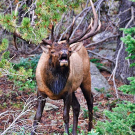 Colorado's Elk by Dorothy Valine Gram - Animals Other