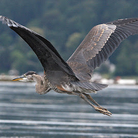 Lake Washington, Seattle by Dan Dusek - Animals Birds ( great blue heron, bird, bird photography, bird in flight, animal )
