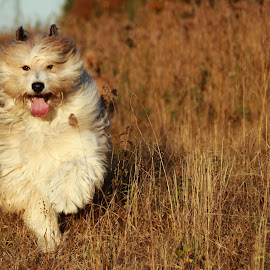 by Jacqui Sjonger - Animals - Dogs Running ( nature, outdoor photography, outdoor, dog portrait, dog playing, dog,  )