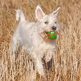 Happy by Mia Ikonen - Animals - Dogs Playing ( miniature schnauzer, white, finland, fun, running )