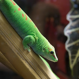 Green Gecko by Janet Marsh - Animals Reptiles ( gecko,  )