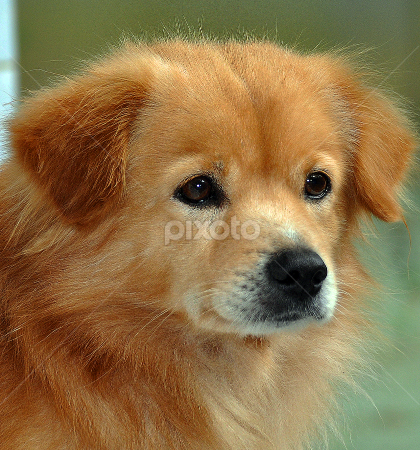 by Cacang Effendi - Animals - Dogs Portraits ( cattery, dogs, cute, natural background, adorable dogs, puppies, curious, mamal, animal, male, animalia, portrait, close-up, sit, canine, resting, sitting, animal kingdom, chandra, pet, puppy, rest, companion dog, dog, natural, artificial light )