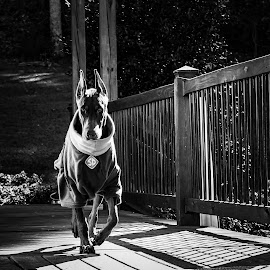 Phin by Debra Martins - Animals - Dogs Playing ( black and white, dog, doberman, animal )