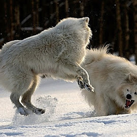 by Anders Isaksson - Animals - Dogs Playing