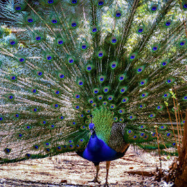 Chasing Peacocks by Diane Clontz - Novices Only Wildlife ( vibrance, wildlife, feathers, peacock, daffodil hill )