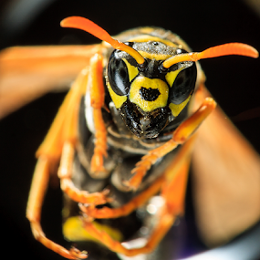 Wasp Up by MIGUEL CORREA - Animals Insects & Spiders ( flying, bee, waps, insect )