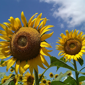Sunflower pair ! by Darshan Trivedi - Flowers Flower Gardens ( contrast, sky, android, nature, background, beautiful, sunflower, garden, flower )
