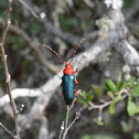 Red-headed Beauty Beetle