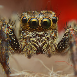 untittled by Weri Suweri - Animals Insects & Spiders ( spider, head, eyes, animal )