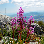Four Spotted Orchid