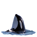Killer Whale Spyhop Sticker icon