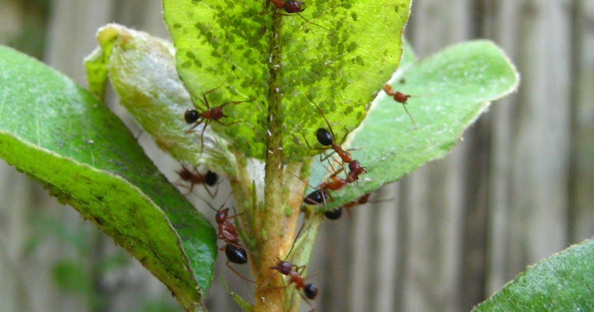 Gardening In Central Florida Aphids On My Fruit Trees