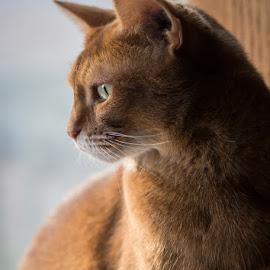 My Kitty  by Joe Alfano - Animals - Cats Portraits ( love my cat, cat, pet, kitty, abyssinian )