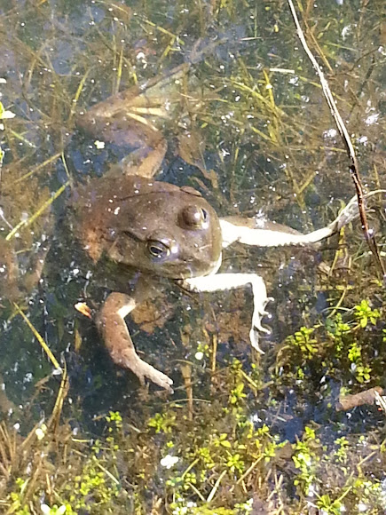 Northern leopard frog eating - photo#11