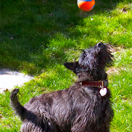 Pepper and ball. by D. Bruce Gammie - Animals - Dogs Playing ( scotty, dog playing, terrier, little dog, dog )