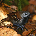 Gray-bellied Antbird