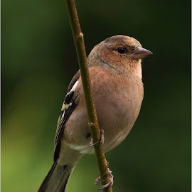 Chaffinch by Hans Olav Beck - Animals Birds ( chaffinch )