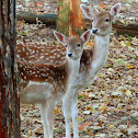 Chital (hinds and fawns)