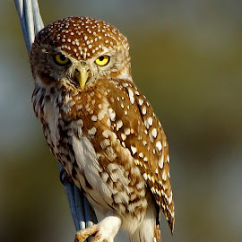 Pearl Spotted Owl by Seppie Malherbe - Animals Birds (  )