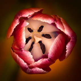 Tulip by Hans-Börje Jansson - Flowers Single Flower ( plant, sweden, lund, tulip, flower, close-up )