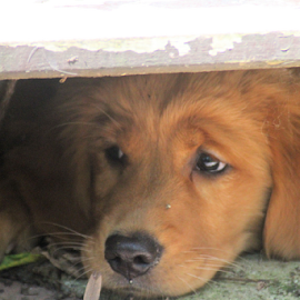 New Hidey Hole by Ellee Neilands - Animals - Dogs Puppies ( canine, puppy, dog, golden retriever )