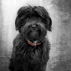 I am Charlie by Brenda Bryson - Animals - Dogs Portraits ( havanese, puppies, poodle, dogs, black & white )