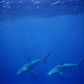 Cage swimming with the sharks. by Kristin Fitzsimmons - Animals Sea Creatures
