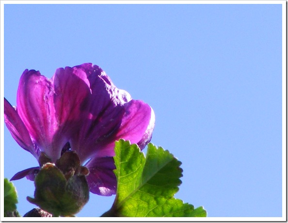 Mallow Flower behind