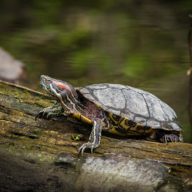 Red-eared slider basking by Shawn Crowley - Animals Reptiles