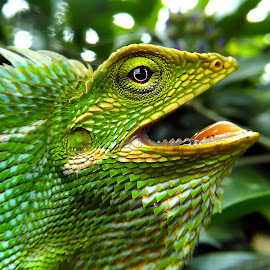 Bunglon surai (green crested lizards) 02 by Hendrata Yoga Surya - Instagram & Mobile Android