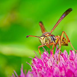 Wasp by Hytham Elbohy - Nature Up Close Other Natural Objects ( macrophotography, macro photography, insect, insects, close up, macro shot, closed up, close ups, macro art, macro, bugs, bug, focus, closeup )
