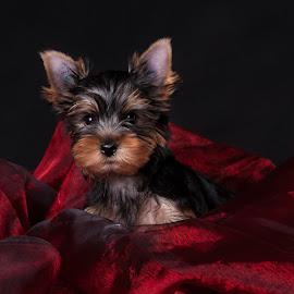 Lady in Red  by Martin Ženíšek - Animals - Dogs Puppies ( puppy, jorkshire terier, black,  )