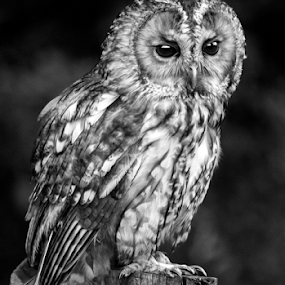 Tawny owl by Peter Greenhalgh - Black & White Animals ( bird, hunter, tawny owl, bird of prey, black and white, owl, strix aluco, brown owl )