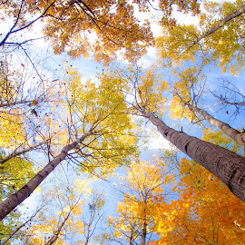 Fall from Above by Gary Hanson - Nature Up Close Trees & Bushes ( upright, sky, color, autumn, fall, trees )