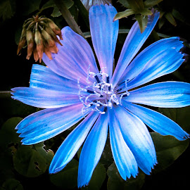 blue flower by Željko Jelavić - Novices Only Flowers & Plants (  )