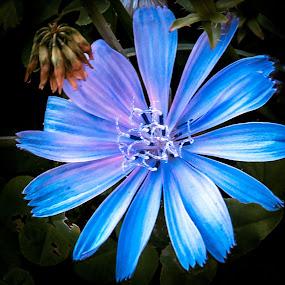 blue flower by Zeljko Jelavic - Novices Only Flowers & Plants (  )