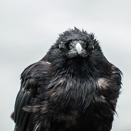 Raven by Peter S. - Animals Other ( bird, raven, nature, canada, outdoors, wildlife, crow, telephoto, vancouver, coast, rain )