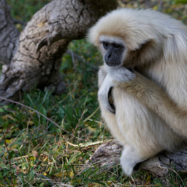 Contemplative White-handed Gibbon by Wade Tregaskis - Animals Other Mammals ( dreaming, depressed, day-dreaming, zoo, daydreaming, sad, forlorn, contemplative )