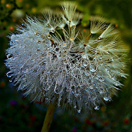 Crumb Of Sun, Crumb Of Rain - That's Life by Marija Jilek - Nature Up Close Other plants ( dandelion, nature, crumb, drops, plants, seeds, stem, sun, rain )