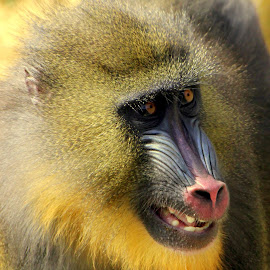 Mandrill by Ralph Harvey - Animals Other Mammals ( colechester zoo, wildlife, animal. mandrill, ralph harvey )
