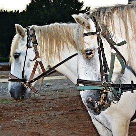 Bjelci by Jelena Puškarić - Animals Horses (  )