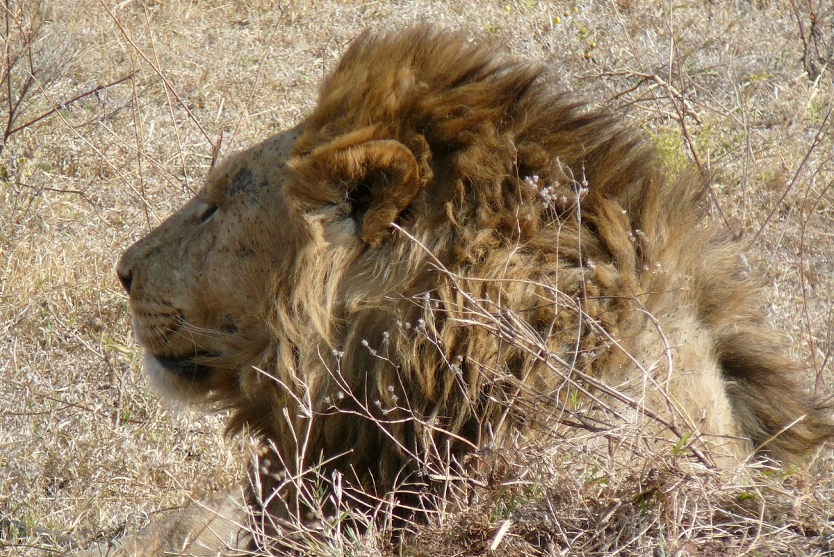 Lion (Serengeti)