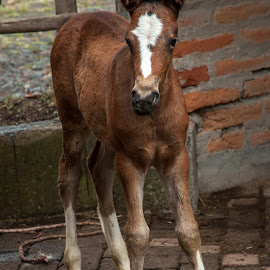 Foal by Thierry Mallet - Animals Horses