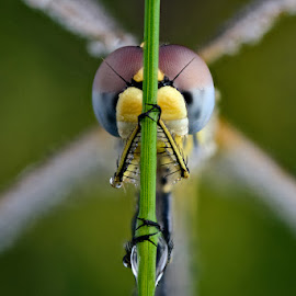 The X Dragon by Velian Jagev - Animals Insects & Spiders ( macro, dew, insect, dragonfly )
