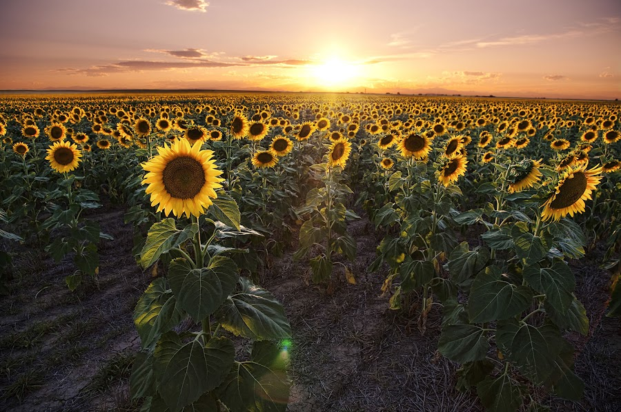 sunflower sunset by James McGinley - Flowers Flower Gardens ( field, green, sunset, sunflowers, colorado, agriculture, yellow, golden hour, sunrise )