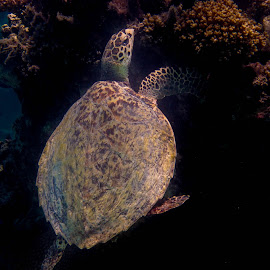 Hawksbill Turtle by Jason Rose - Animals Sea Creatures ( hawksbill, reef, sea turtle, fiji, turtle )