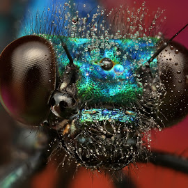 Hypnotic by Ondrej Pakan - Animals Insects & Spiders ( macro, damselfly, dew, dew drops, dragonfly, insect )